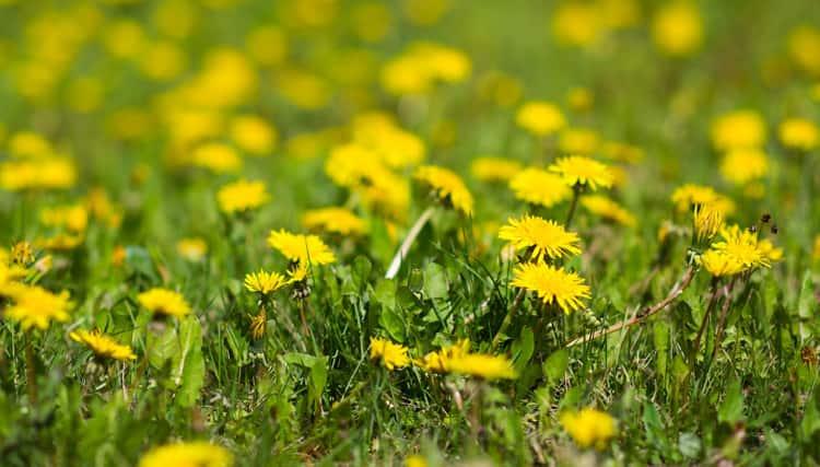 Jak skutecznie pozbyć się chwastów z trawnika?
