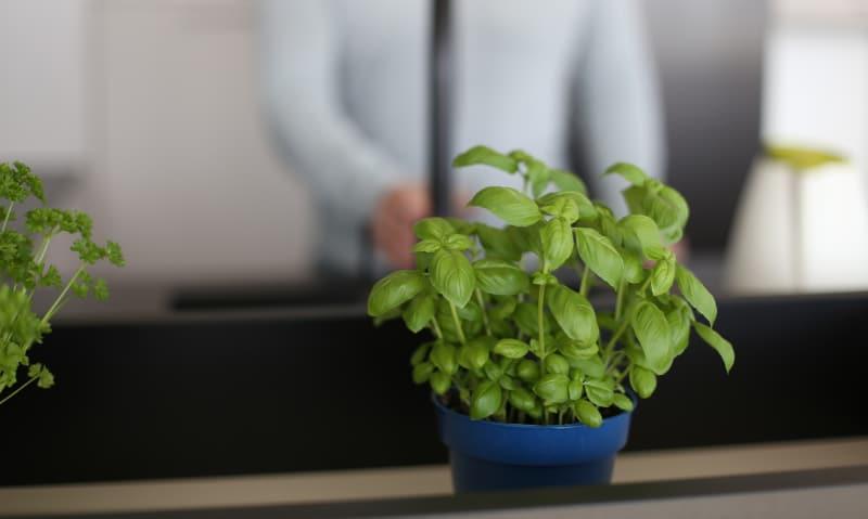 Dlaczego warto uprawiać zioła w doniczce?